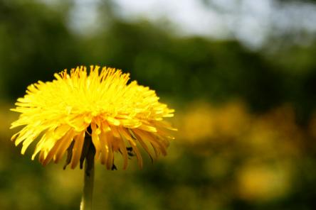 Ayurveda for Spring/Summer - Dandelion