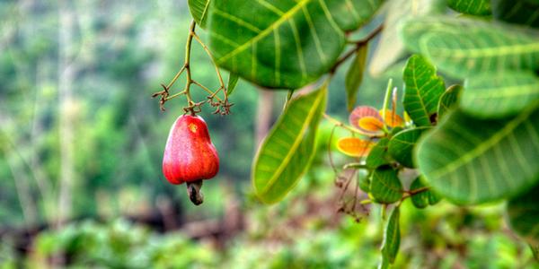 Cashew Apple