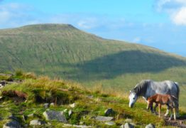 Local Horses Brecon Beacons