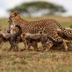 family of cheetah in bush botswana