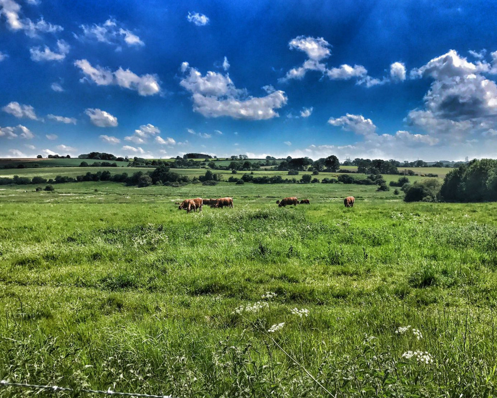 Field with cows and blue sky